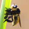 Bee Killer Robber Fly View 1