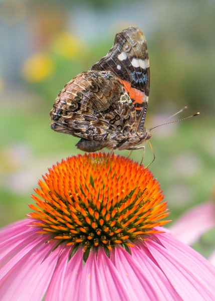 Red Admiral butterfly on coneflower