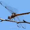 Female Roseate Skimmer