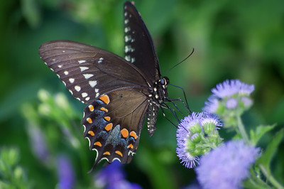 """Mount Vernon Butterfly"""