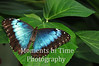 Brilliant blue morpho