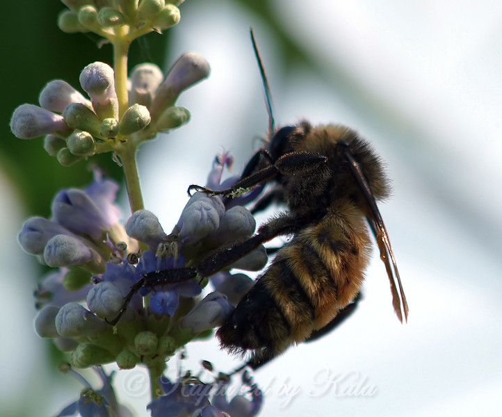 Male American Bumble Bee