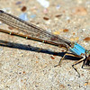 Female Powdered Dancer Blue-form