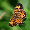 Pretty Pearl Crescent