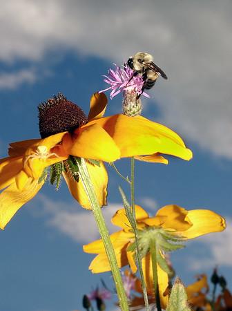 Bee atop a Sunflower - Michigan's Upper Peninsula - 2002