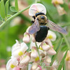Texas Carpenter Bee