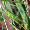 Slender Meadow Katydid