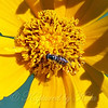 Close Up Of The Syrphid Fly