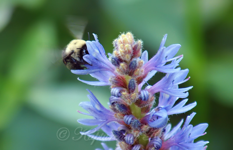 Blueberry Digger Bee On Pickerelweed