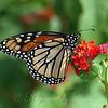 Monarch Mania