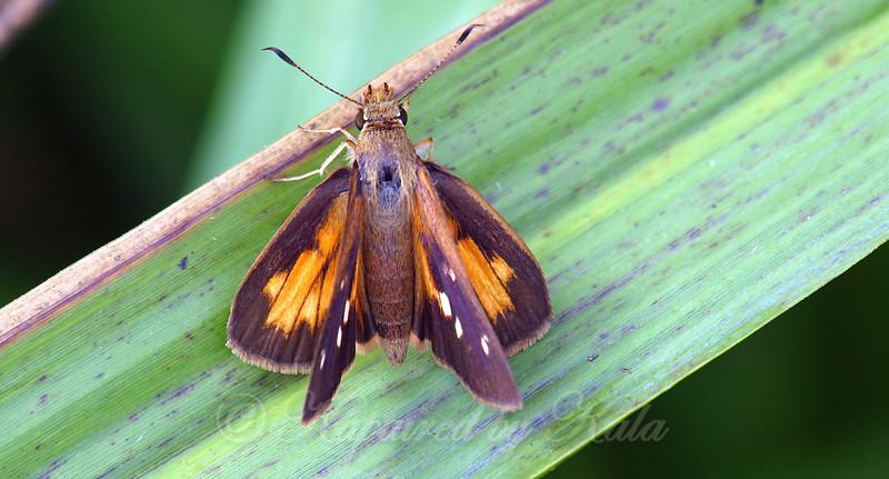 Female Broad-winged Skipper