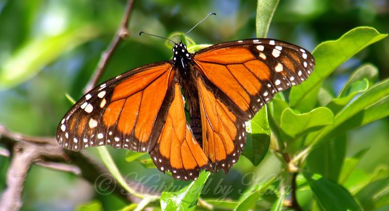 Magnificent Male Monarch