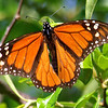 Magnificent Male Monarch