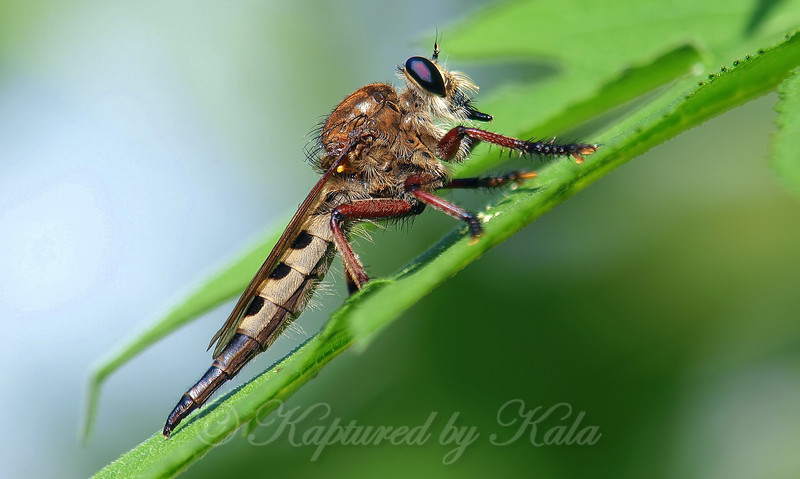 Female Giant Robber Fly
