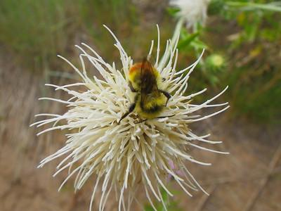 Apidae -  Bee