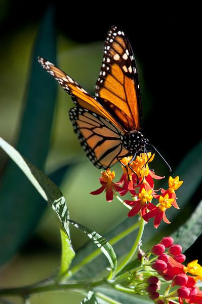 Monarch My Backyard Sugar Land, TX