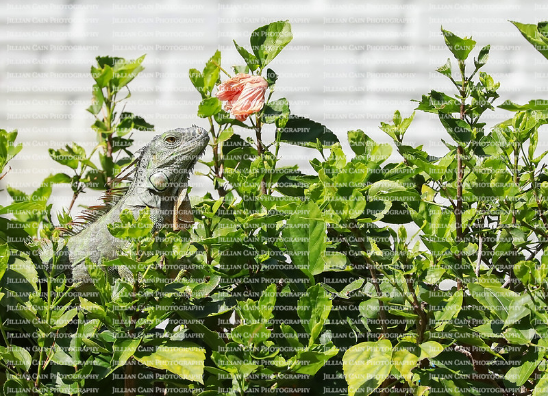 Hungry iguana gets ready to eat a hibiscus flower in a home owners front yard.