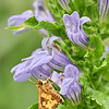 Peck's Skipper on Great Blue Lobelia
