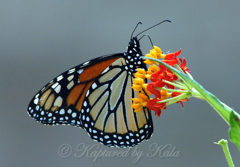 The Monarch That Found My Milkweed
