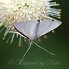 White Palpita Moth