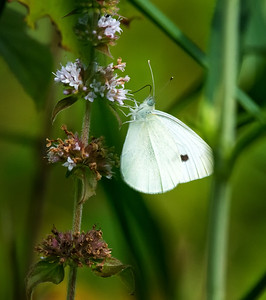 Cabbage White Butterly