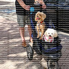 Two happy dogs, a white Maltese and a Yorkshire Terrier enjoying a stroller ride in the park.