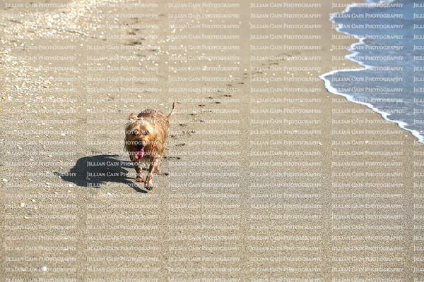 Cute wet dog leaving a trail of paw prints on the beach on Singer Island, Florida