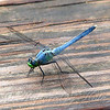 Pondhawk On The Pier