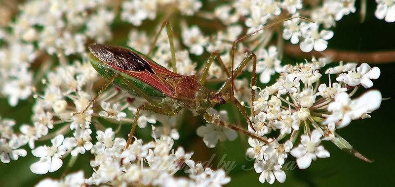 Leafhopper Assassin Bug On Queen Anne's Lace View 5