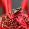 Green Bottle Fly View 1