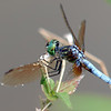 A Dashing Blue Dasher