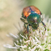 Japanese Beetle on Rattlesnake Master