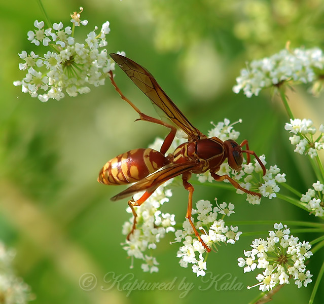 Red And Yellow Paper Wasp