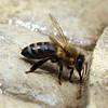 Honey Bee Drinking at the Bird Bath View 2