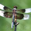 Widow Skimmer Close Up