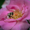 Bumble Bee Pollinator and Pink Roses, Winghaven