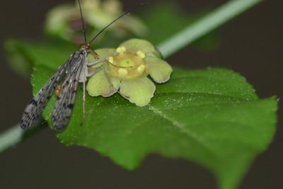 Choristidae -  Scorpionfly