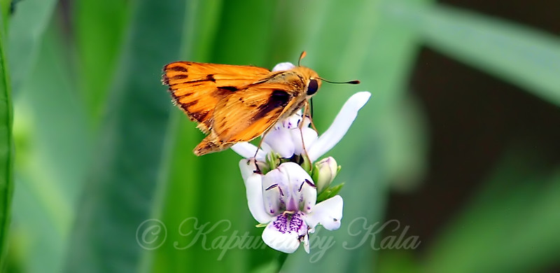 Fiery Skipper On American Waterwillow
