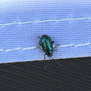 Chrysochus auratus - Dogbane leaf Beetle