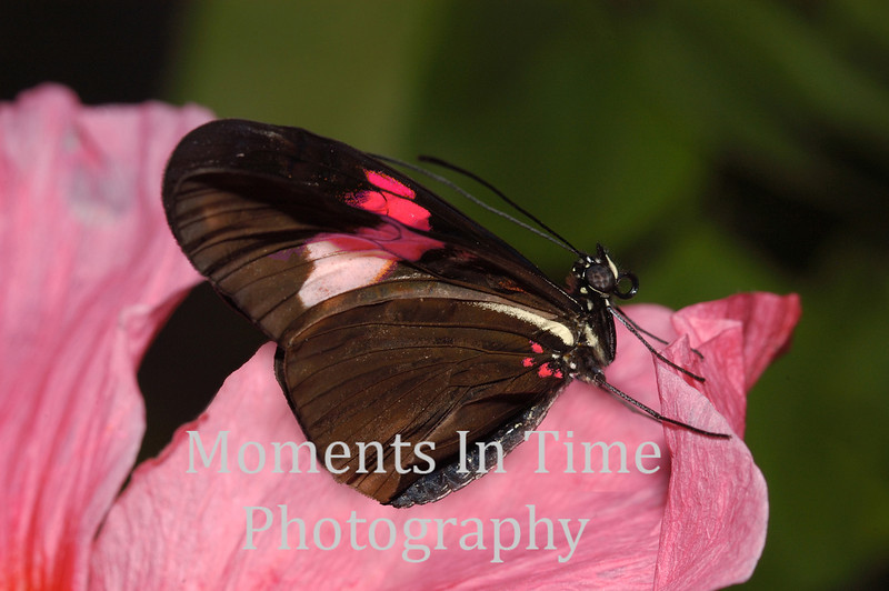 Pink hibiscus with butterfly  pink ph