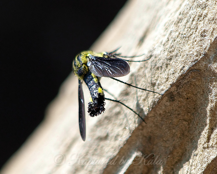 Scaly Bee Fly View 2