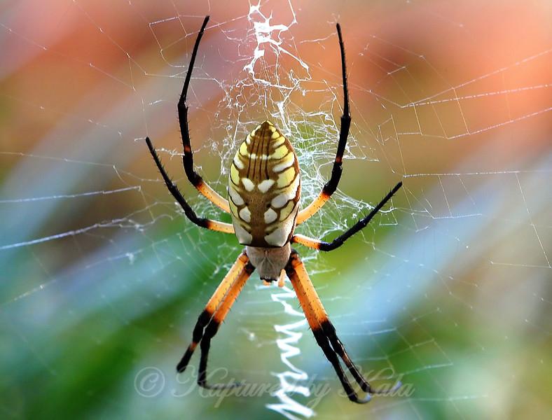 Female Garden Spider