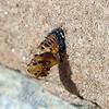 Empty Ladybug Pupa