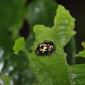 Chrysomelidae-  Zygogramma violaceomaculata - Leaf Beetle