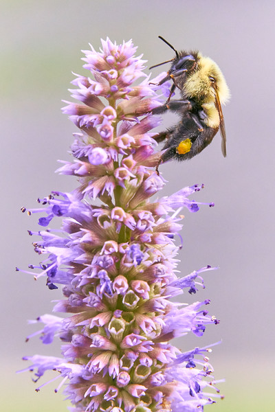 Bumblebee on Blue Giant Hyssop
