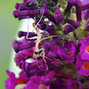 Baby Mantis On Butterfly Bush View 3