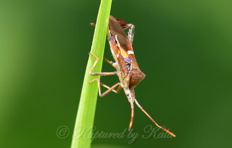 Eastern Leaf-footed Bug Side View