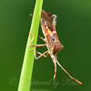 Eastern Leaf-footed Bug Side View