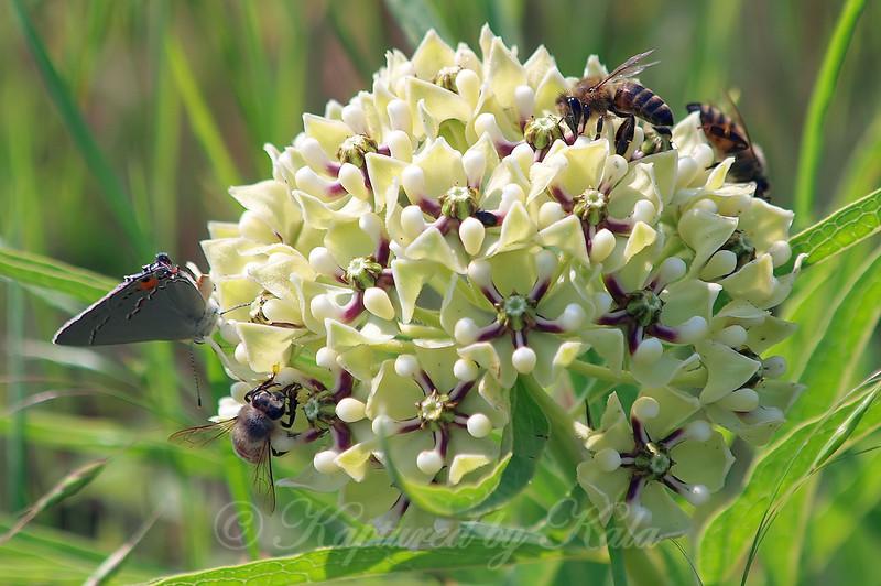 Pollinators On Milkweed