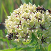 Pollinators On Milkweed